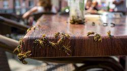 Wieso Wespen diesen Sommer besonders gefährlich sind
