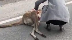 Frauen findet totes Känguru auf der Straße – plötzlich bewegt sich