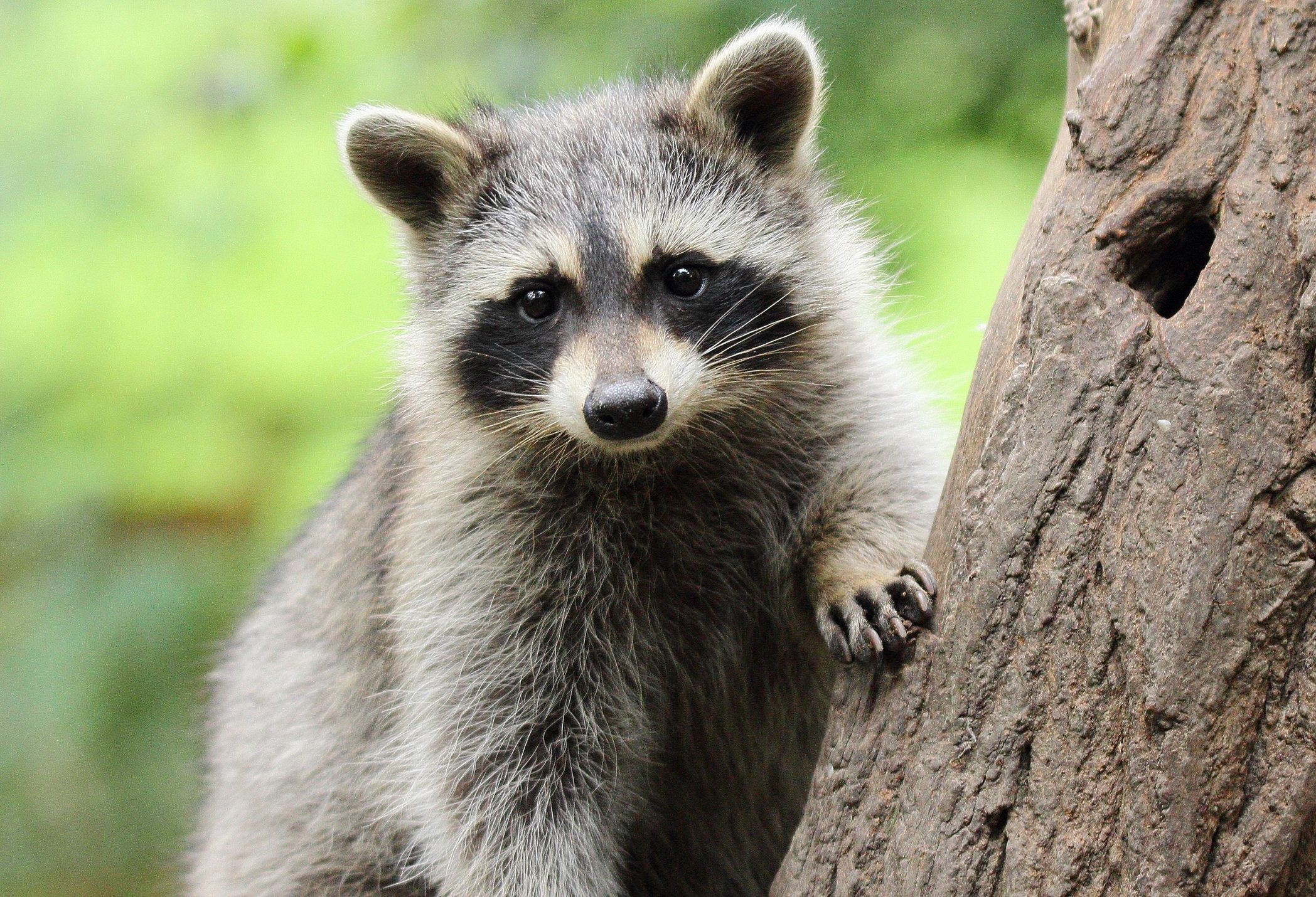 Yes, this raccoon is ridiculously cute, but it's best to just appreciate wildlife from a respectful distance.