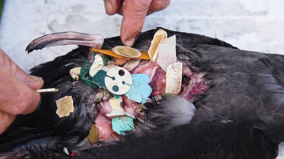 A bird's stomach, full of plastic