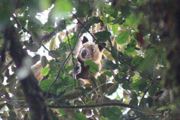 멸종된 것으로 알려졌던 원디워이(Wondiwoi) 나무 캥거루. 인도네시아의 한 섬에서 마이클 스미스가 위 사진을 2018년에 찍었다.