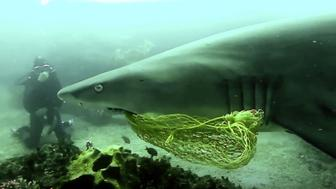 While diving in Byron Bay in Australia Scuba diver Inaki Aizpun encountered a nurse shark with netting stuck in its mouth