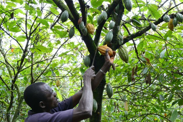 A cocoa farmer collects cacao pods in Gagnoa, Ivory Coast. It takes a lot of work between harvesting...