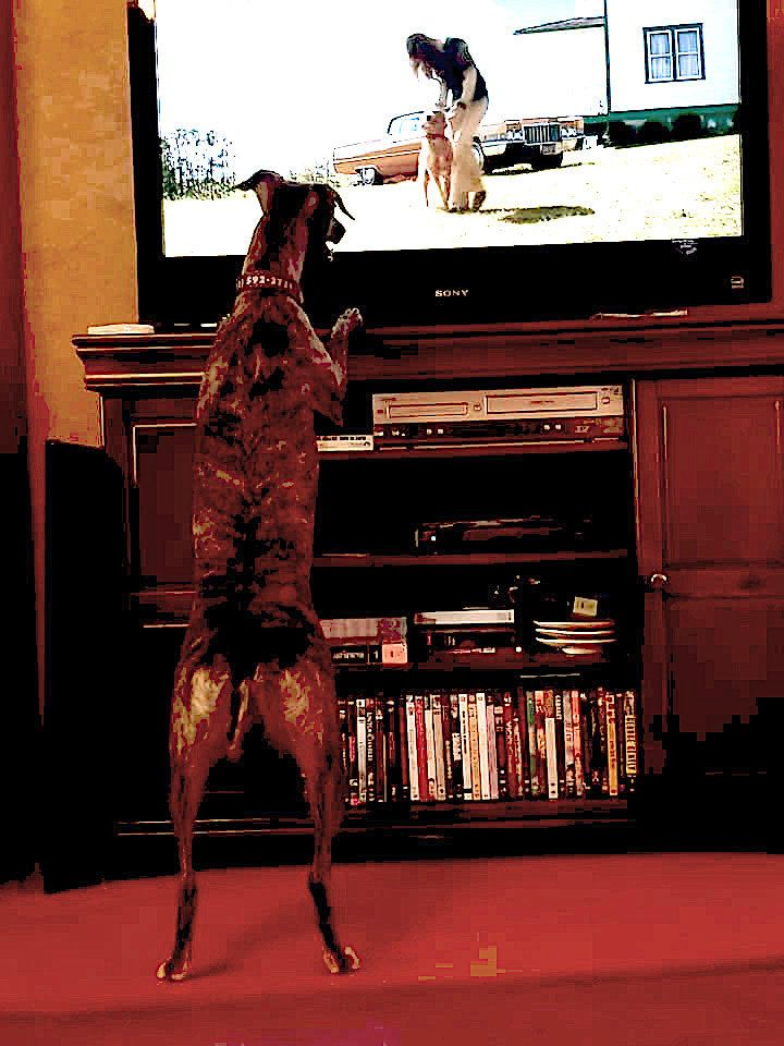 Peggy King of Los Vegas said her whippet Wepa enjoys watching other dogs on TV