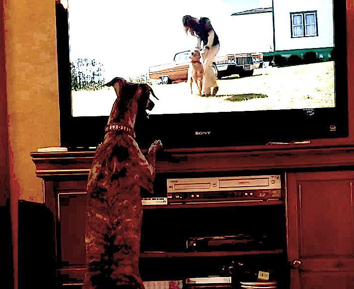Peggy King of Las Vegas says her whippet, Wepa, enjoys watching other dogs on TV.<i></i>