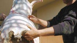 Aïd El Adha: prés de 900.000 peaux d'ovins collectées au niveau de 6 wilayas