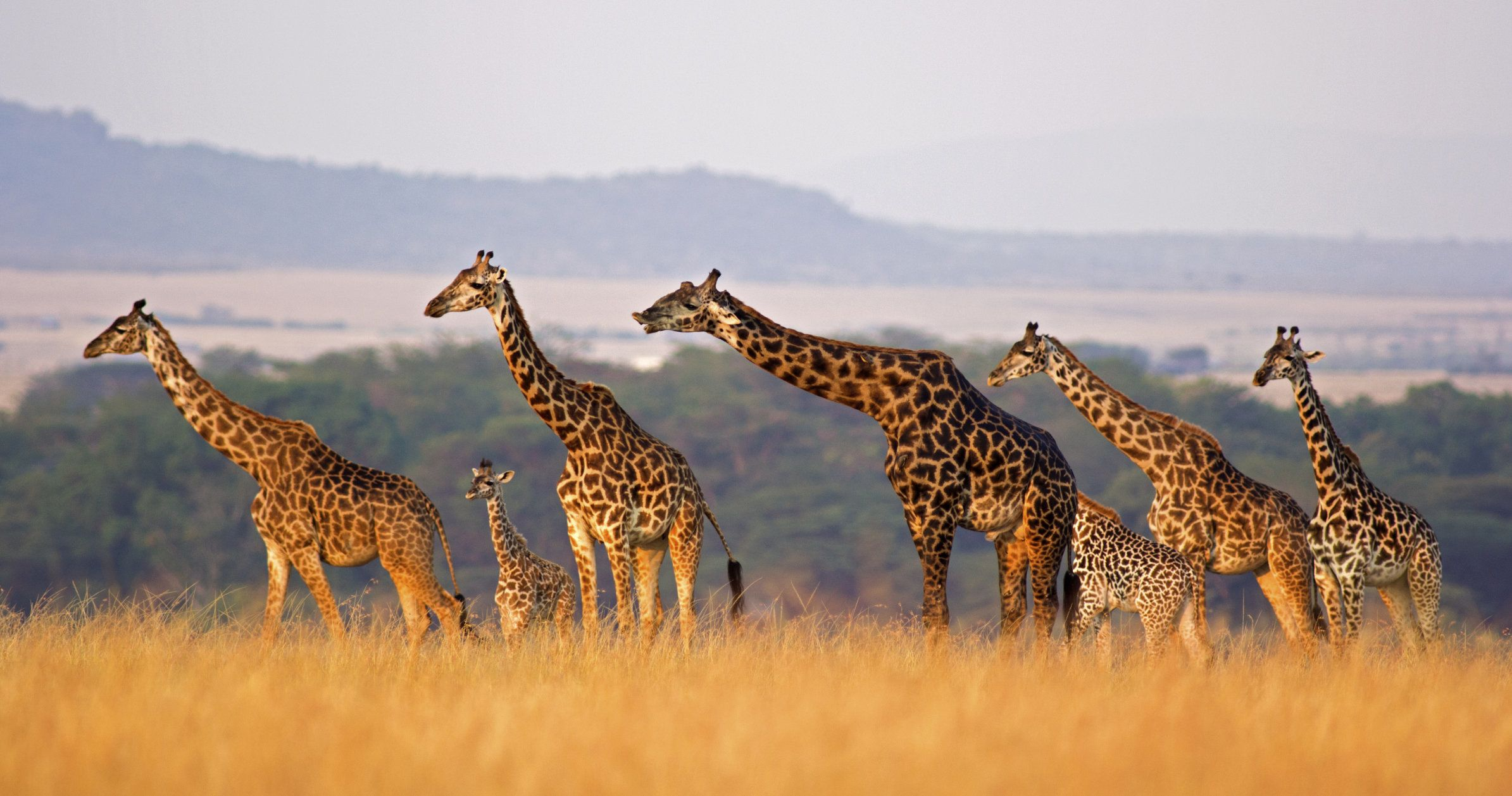 Masai giraffe of all sizes in a row against rolling landscape of the Masai Mara, Kenya