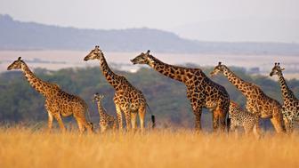 Masai giraffe of all sizes in a row against rolling landscape of the Masai Mara, Kenya