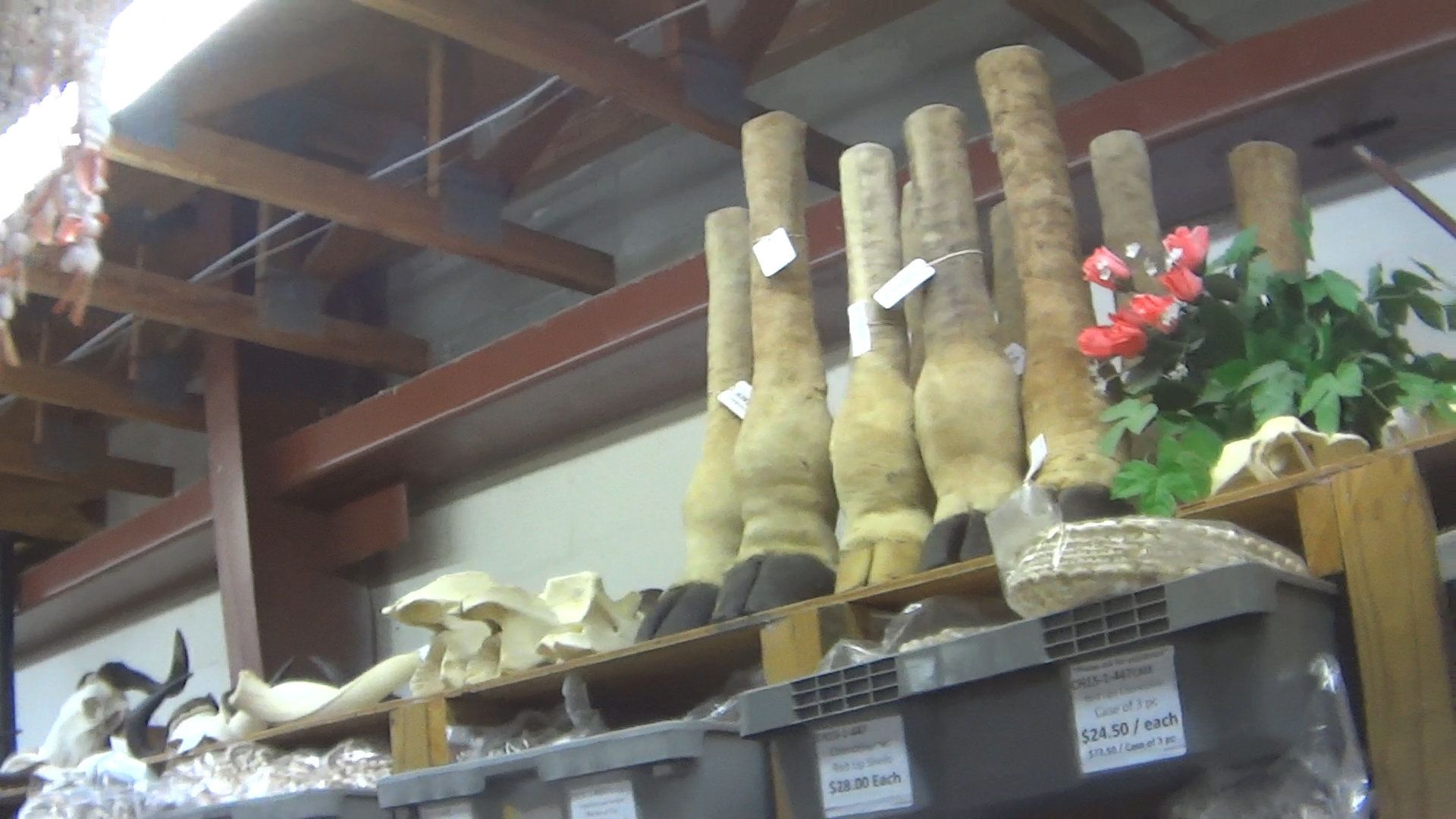 Giraffe feet and partial legs for sale at Atlantic Coral Enterprises in St. Augustine, Florida, in March.