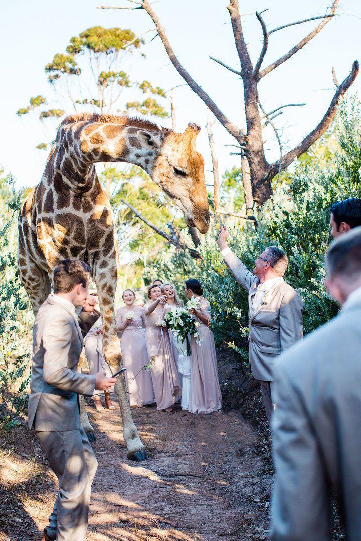 애비라는 기린이 남아공 이스트런던에 있는 동물보호지역에 신랑 신부와 있다