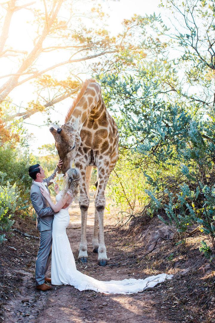 Hochzeitspaar will Fotos machen – dann stiehlt ihm eine Giraffe die