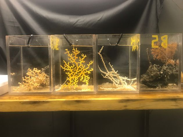 Different species of corals sit in tanks aboard the R/V Atlantison