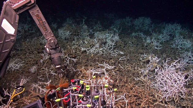 In August, scientists aboard the research ship Atlantis discovered a dense coral reef off the coast of...