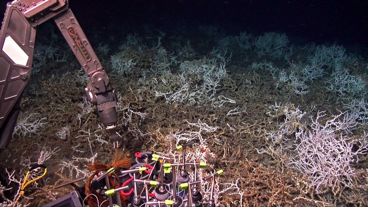 In August, scientists aboard the research ship Atlantis discovered a dense coral reef off the coast of South Carolina. This p