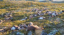 Norwegen: Blitze töteten vor 2 Jahren 323 Rentiere – die Folgen sind heute