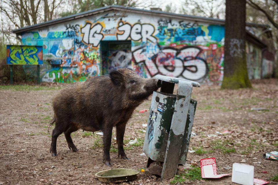 Ein Wildschwein in einem Park in