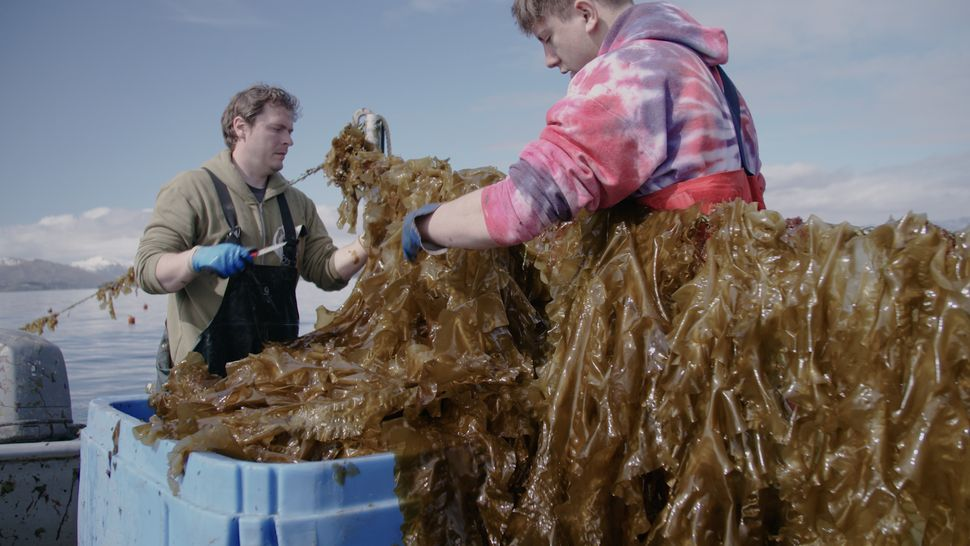 Kelp farmers harvesting in Kodiak, Alaska.