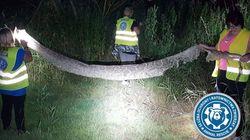 6m짜리 거대한 뱀이 폴란드 시골마을을 공포로 몰아넣고