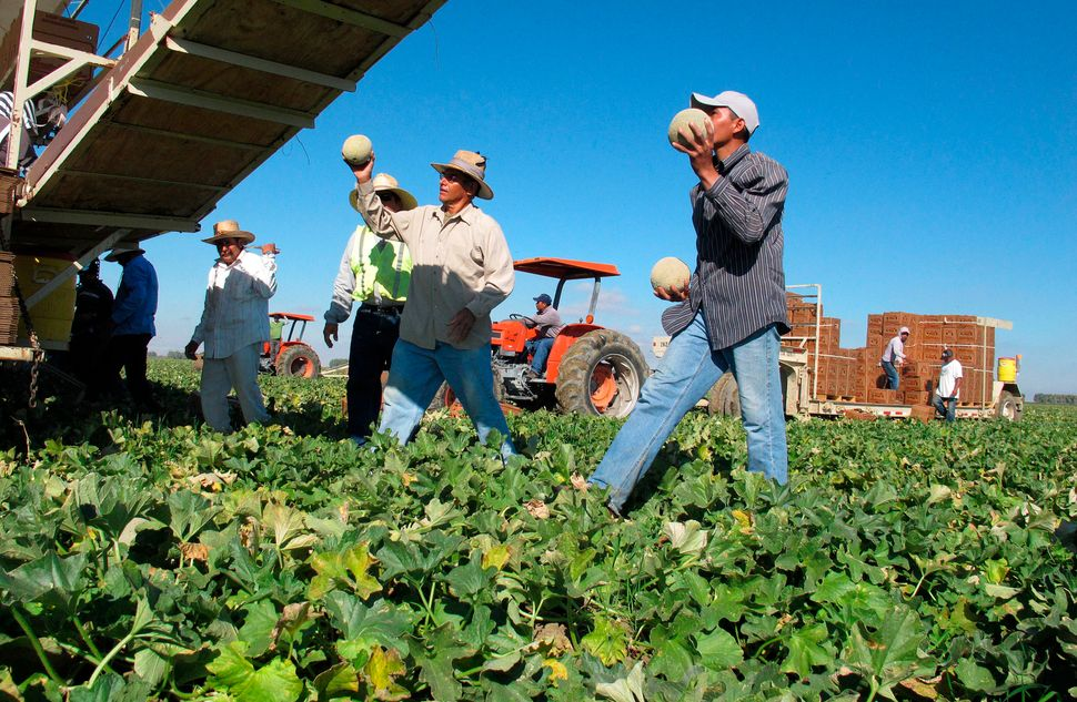 Workers harvest and package cantaloupes near Firebaugh, California.