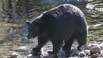 A Black Bear searches for Kokanee salmon as it walks along Taylor Creek Tuesday, Oct. 24, 2017, in South Lake Tahoe, Calif. As winter approaches bears come down from the mountains to feed on the salmon that is swimming up stream from Lake Tahoe to spawn. (AP Photo/Rich Pedroncelli)