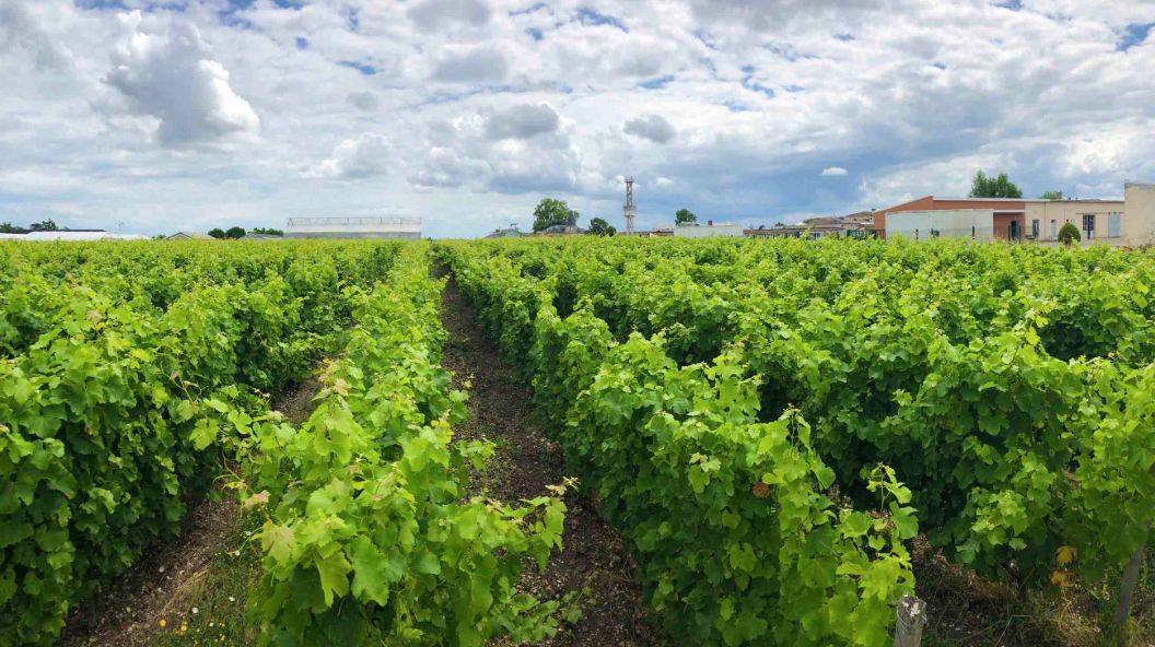 For Bordeaux's Winemakers, Rising Temperatures Bring A Reckoning