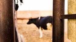 Fièvre aphteuse bovine : Deux foyers signalés à Ghardaïa