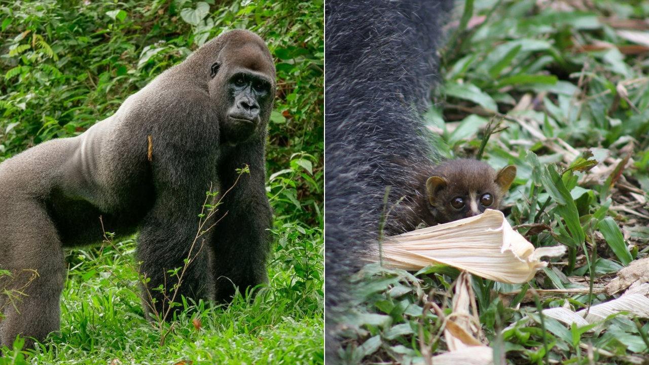 Sensationelle Aufnahmen: Gorilla läuft im Revier umher – und entdeckt kleines Buschbaby