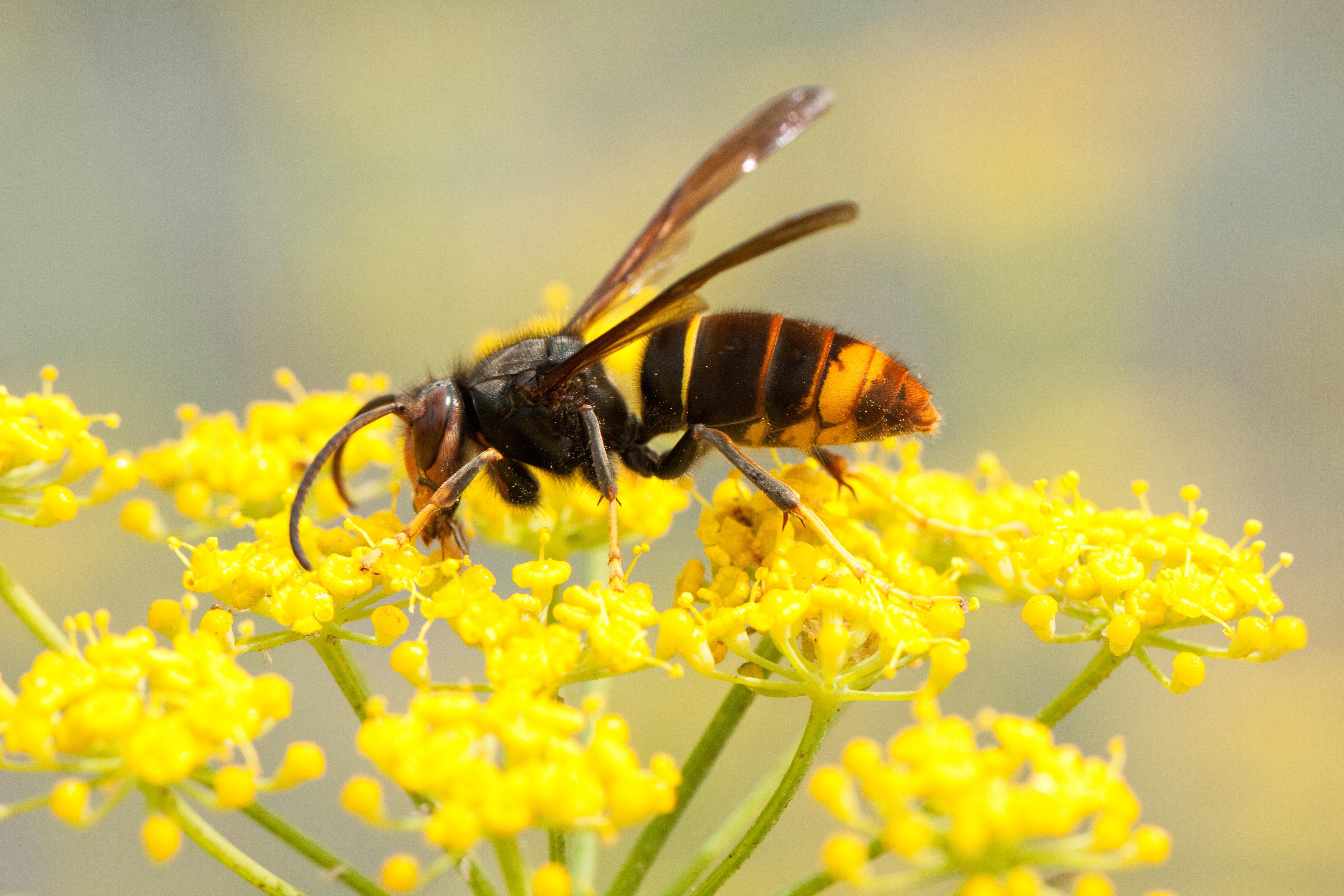 Honey Bee-Killing Asian Hornet Spotted In