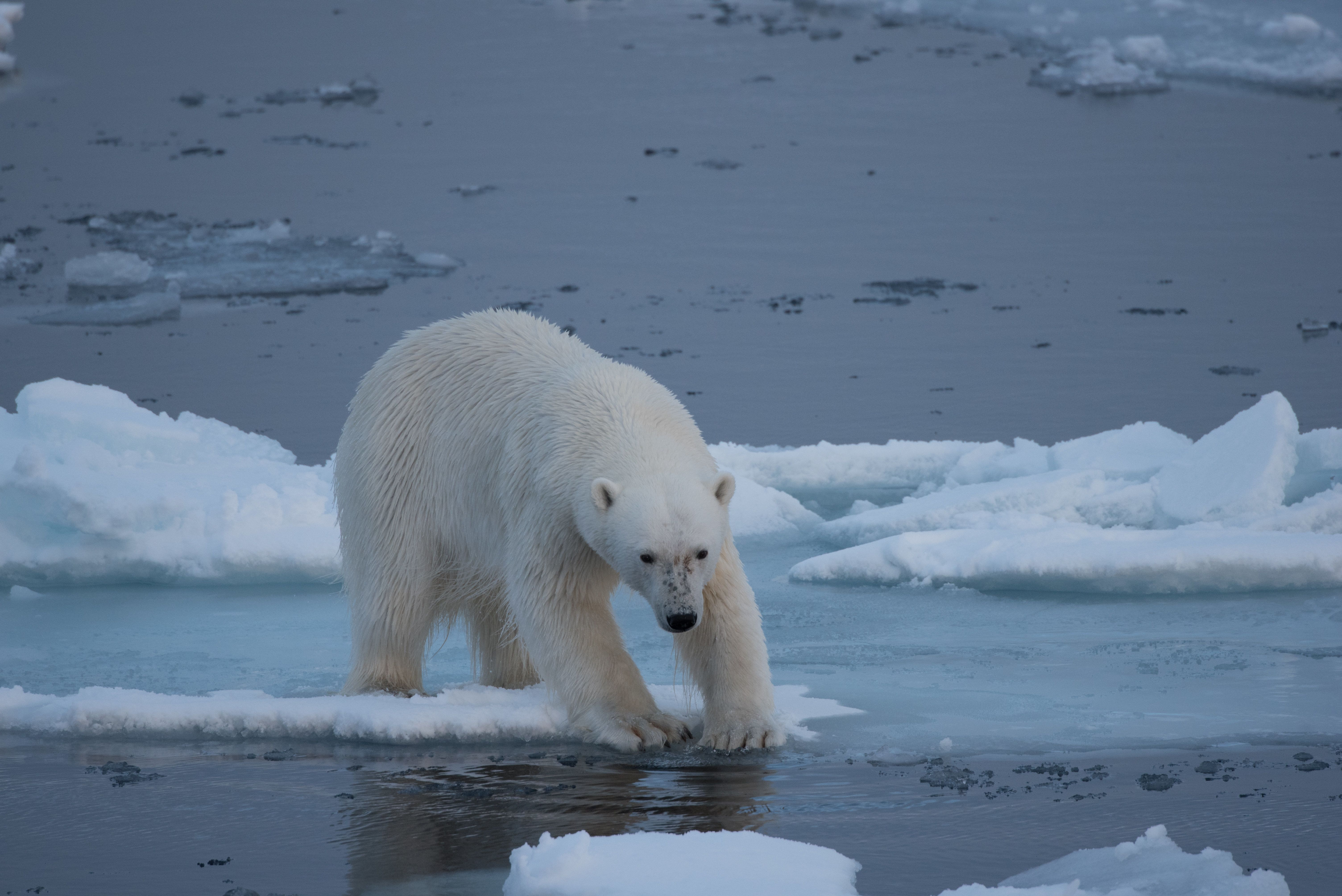 A polar bear tentatively steps from snow covered ice onto thin sea ice