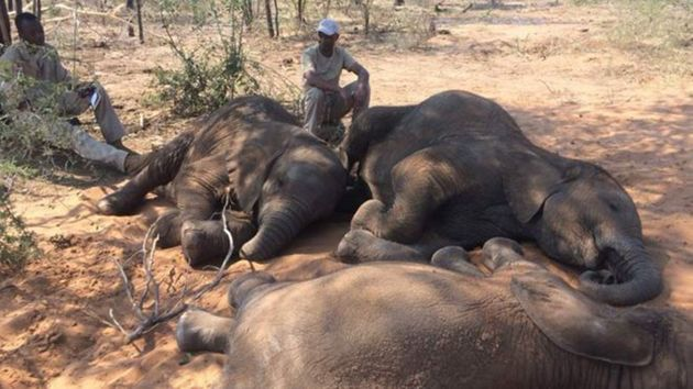 보츠와나 야생동물보호구역에서 87마리의 코끼리 사체가