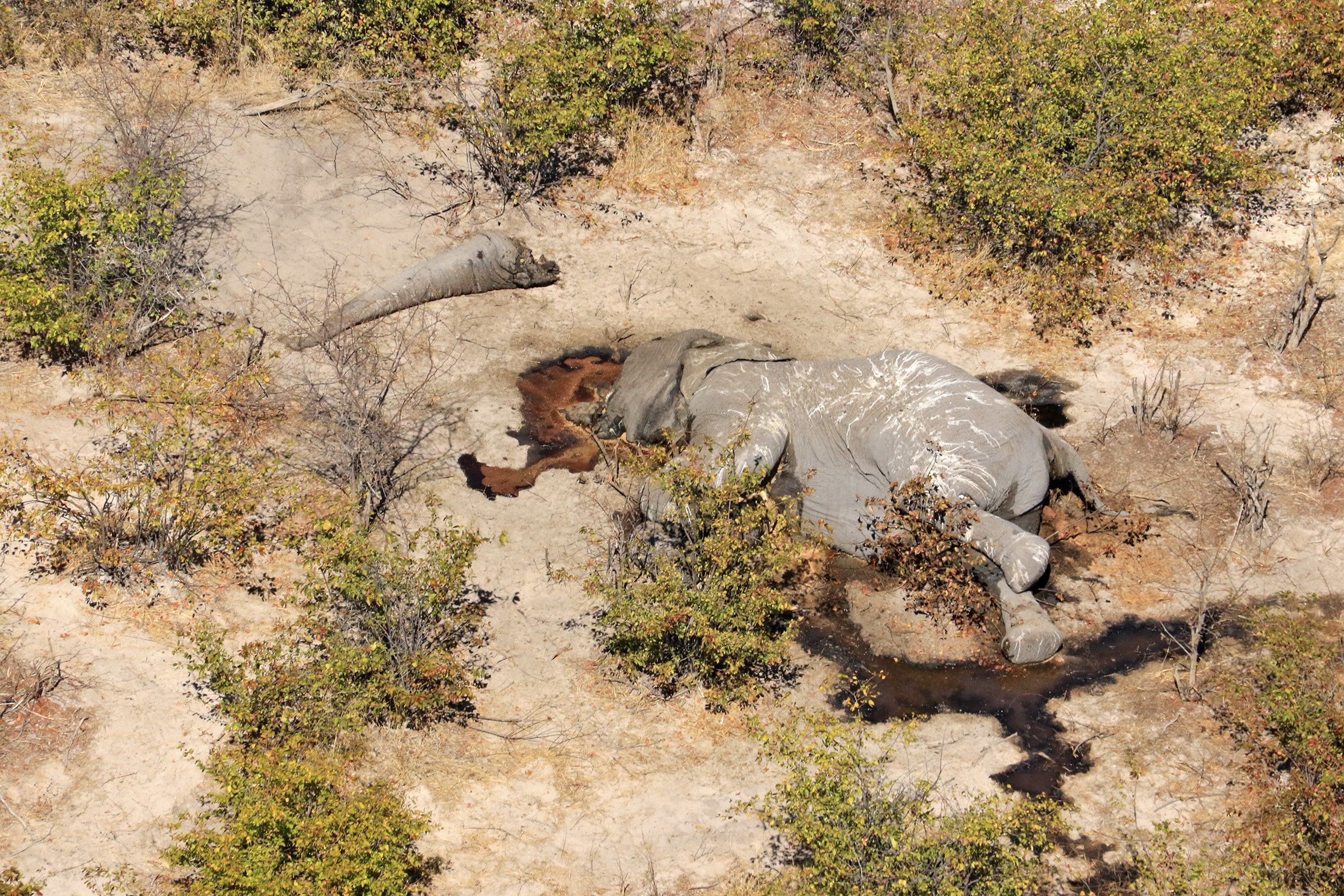 The carcas of a poached elephant photographed by Elephants Without Borders during its recent census of the animals in Botswan