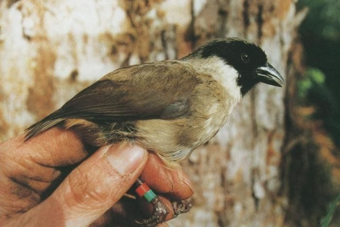 Researchers have confirmed that the po'ouli or black-faced honeycreeper, once endemic to the island...