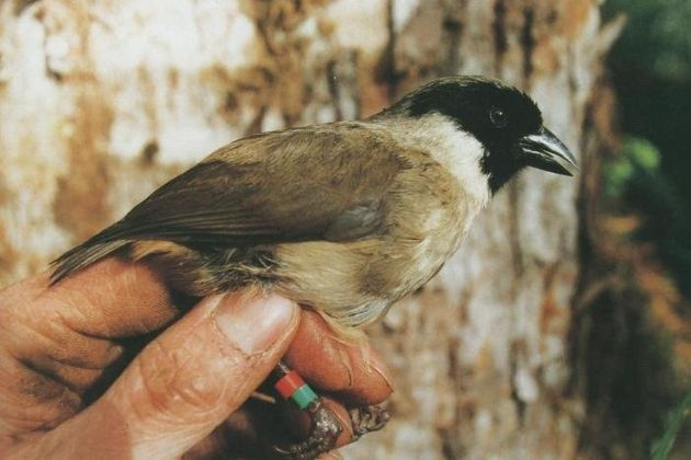 Researchers have confirmed that thepo'ouli or black-faced honeycreeper, once endemic to the island...
