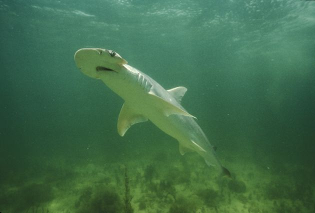 Vegetarian Sharks? First Omnivorous Species Discovered Off US