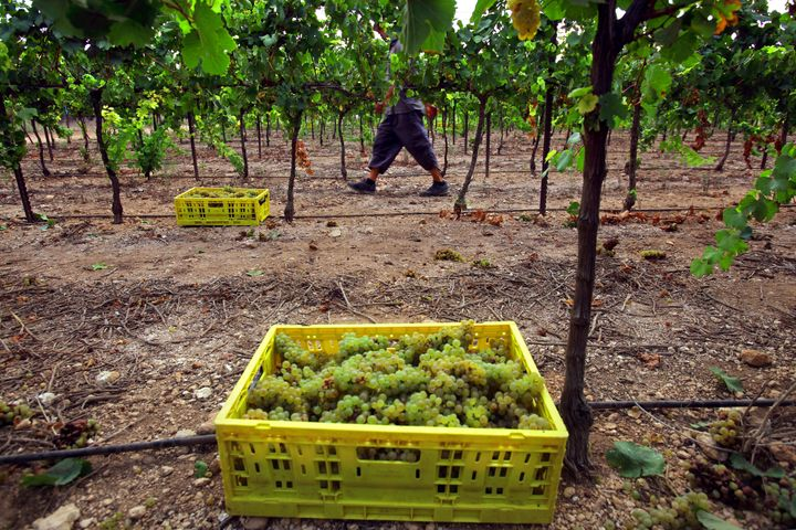 An Israeli winemaker harvests a variety of white grapes on Aug. 1.
