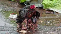 어미 닭은 날개를 펼쳐 폭우으로부터 새끼들을