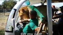 사파리에서 사자가 갑자기 차량에 올라 벌인