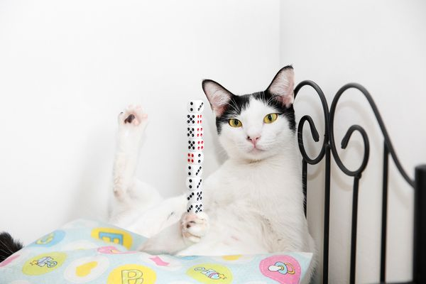 Bibi, a cat in Malaysia, managed to balance nine dice on his paw.