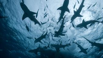 An underwater silhouette of  a shark frenzy at the surface