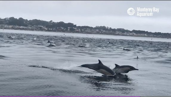 Hundreds Of Dolphins Dash Past California Coast In Magical Video Of