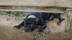 More Than 1,000 Animals Rescued From 1 Property In Massive Dog, Cockfighting