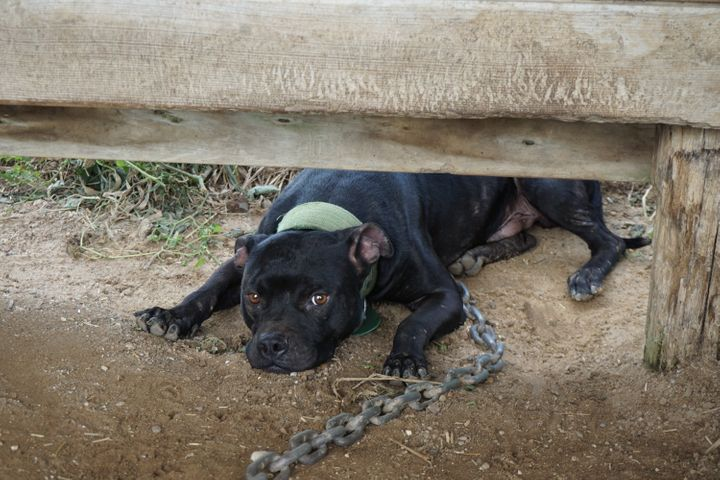 Dogs on the property were found tethered with heavy chains.