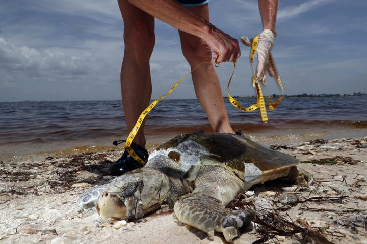 Red tide victims found along Sanibel Island on Sept. 2 include a Kemp's Ridley sea turtle, a shark, a heron, a goliath groupe