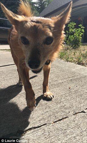 Frau und Chihuahua werden von Puma angegriffen – dann zeigt der Mini-Hund, was in ihm