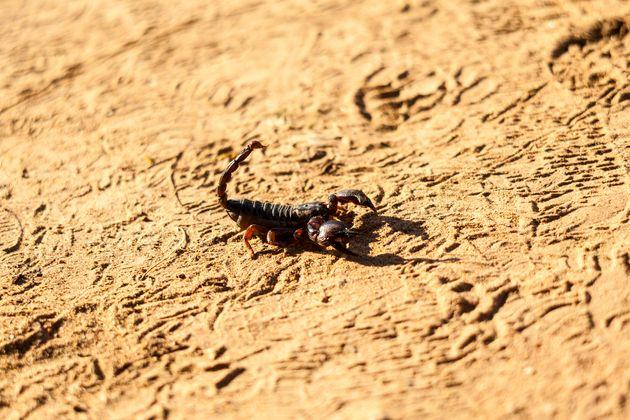 Envenimation du scorpion: 6 décès depuis le début de 2018 à