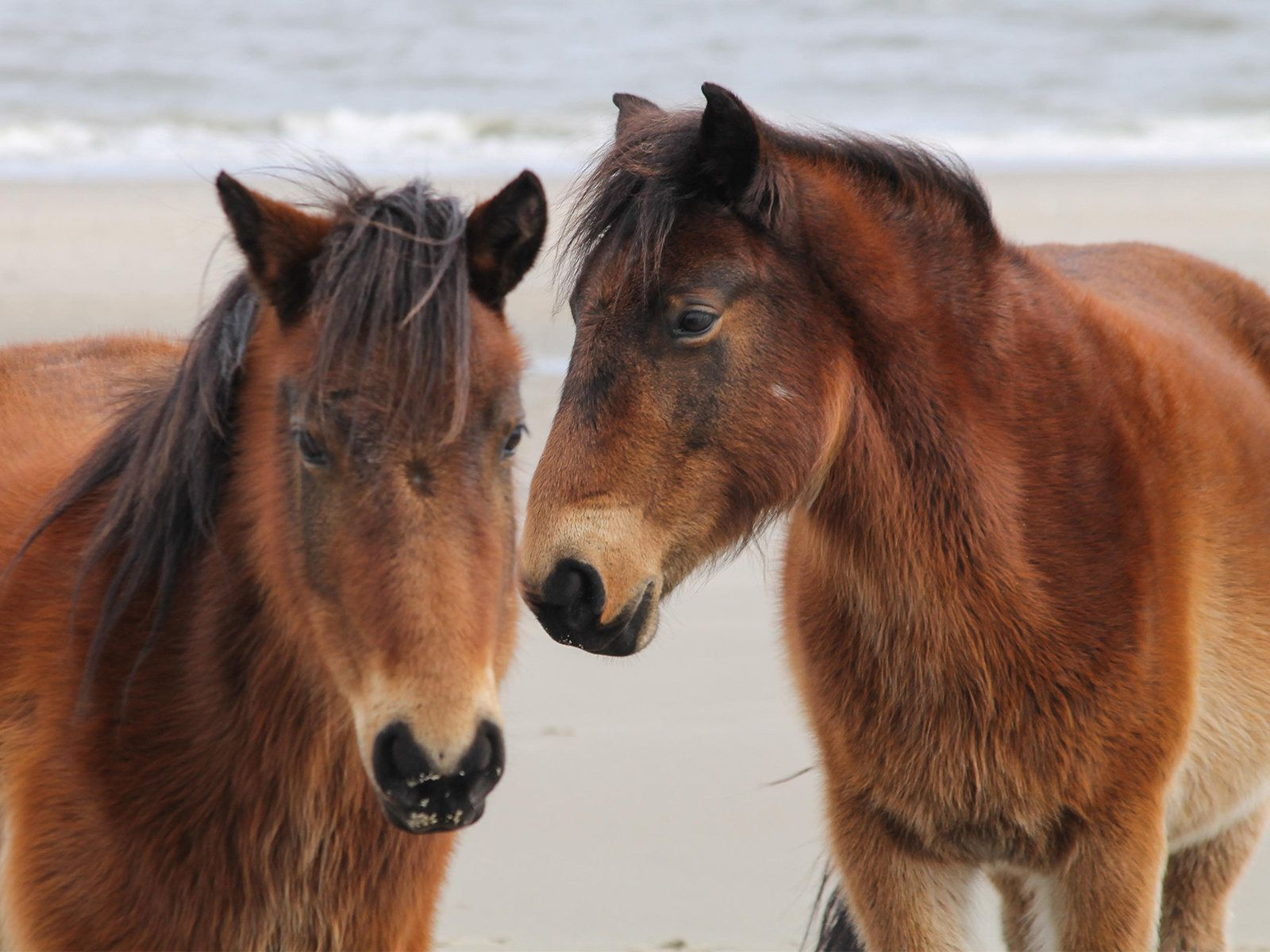 A family of wild horses was spotted roaming the public beaches of Corolla, North Carolina. In search of food, these beautiful horses with their winter coats blowing in the wind were photographed on an overcast day, with a telephoto lens in February.