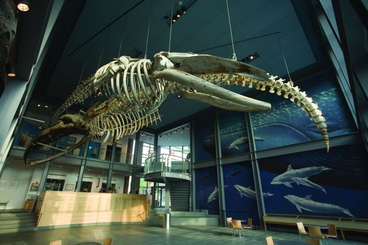 Skeletons of sperm, humpback, right and blue whales are displayed in the privately owned whaling museum at New Bedford Whalin