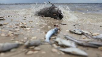 SANIBEL, FL - AUGUST 01:  A Goliath grouper and other fish are seen washed ashore the Sanibel causeway after dying in a red tide on August 1, 2018 in Sanibel, Florida. Red tide season usually lasts from October to around February, but the current red tide has stayed along the coast for around 10 months, killing massive amounts of fish as well as sea turtles, manatees and a whale shark swimming in the area.  (Photo by Joe Raedle/Getty Images)