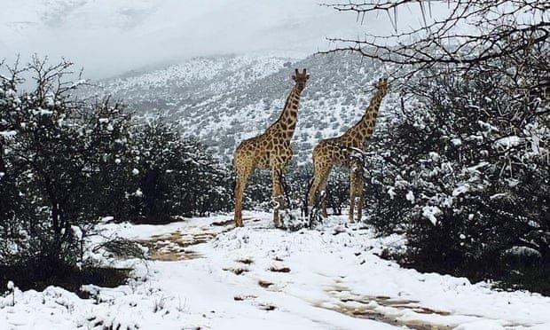 Καμηλοπαρδάλεις και ελέφαντες στα χιόνια. Η Ν.Αφρική έβαλε τα λευκά της και οι φωτογραφίες έγιναν viral
