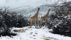 Καμηλοπαρδάλεις και ελέφαντες στα χιόνια. Η Ν.Αφρική έβαλε τα λευκά της και οι φωτογραφίες έγιναν